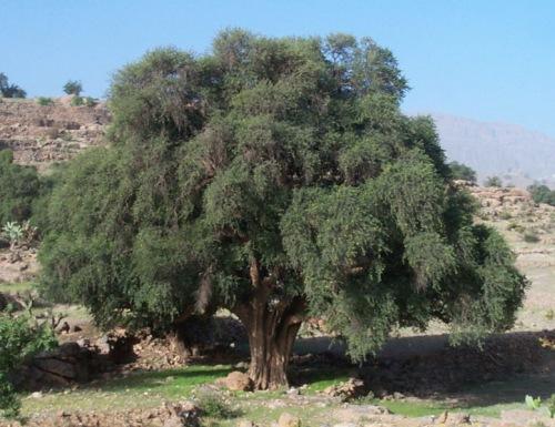 Arbol de Argan en Marruecos