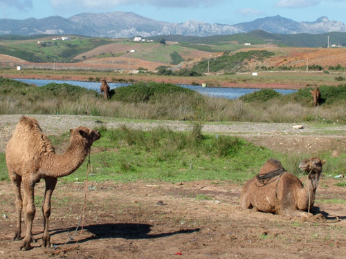 Dromedarios de Marruecos