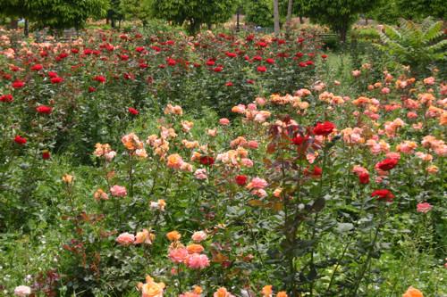 rosas en Marrakech