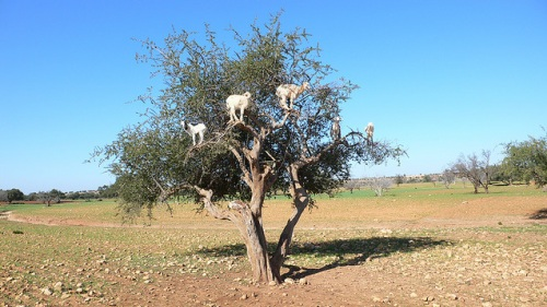 Cabras en Argana